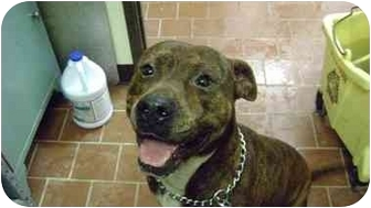 American Pit Bull Terrier Mix Dog for adoption in Everman, Texas - Butch