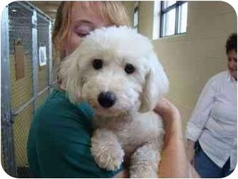 Bichon Frise Mix Dog for adoption in Cincinnati, Ohio - Bebe