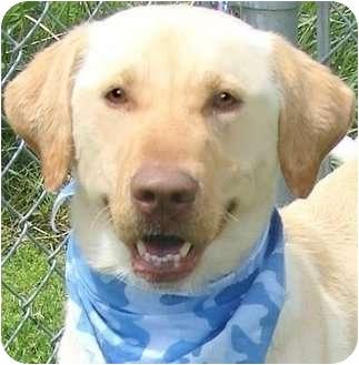 Labrador Retriever Dog for adoption in Pawling, New York - POLO