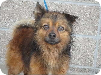 Pomeranian Mix Dog for adoption in Spruce Pine, North Carolina - Gizmo