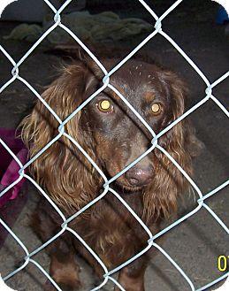 Dachshund Dog for adoption in Washburn, Missouri - Choco