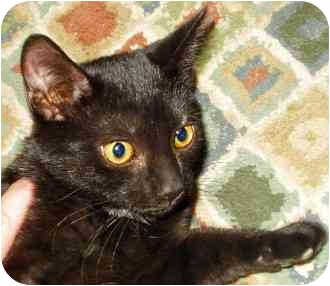 Domestic Shorthair Cat for adoption in Fort Wayne, Indiana - Crooky