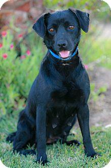 Labrador Retriever Mix Dog for adoption in El Cajon, California - DULCE, I am small!