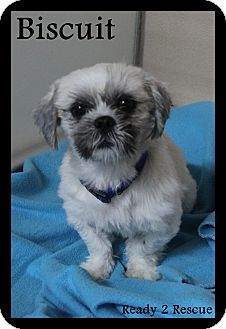 Shih Tzu Dog for adoption in Rockwall, Texas - Biscuit