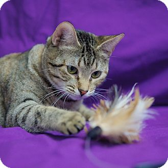 Domestic Shorthair Cat for adoption in Houston, Texas - Zoe