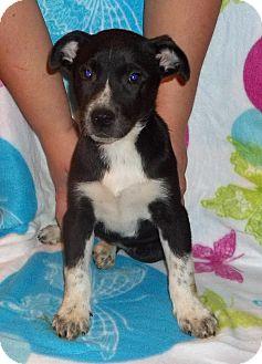 Labrador Retriever/Collie Mix Puppy for adoption in East Hartford, Connecticut - Thelma ADOPTION PENDING