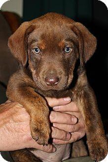 Labrador Retriever/Plott Hound Mix Puppy for adoption in Westport, Connecticut - *Miley - PENDING
