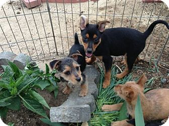 Terrier (Unknown Type, Small) Mix Puppy for adoption in Fowler, California - Scruffy puppy 2