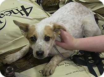 Australian Cattle Dog Mix Puppy for adoption in Texico, Illinois - Destiny