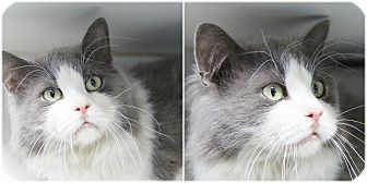 Domestic Longhair Cat for adoption in Forked River, New Jersey - Jefferson