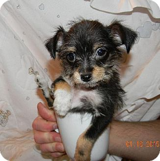 Yorkie, Yorkshire Terrier/Chihuahua Mix Puppy for adoption in Chester, Illinois - Benji