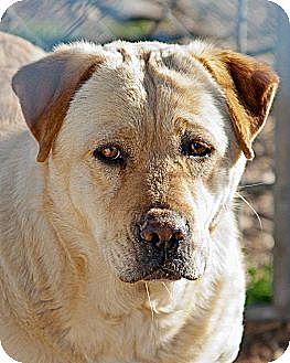 Labrador Retriever Mix Dog for adoption in Justin, Texas - China