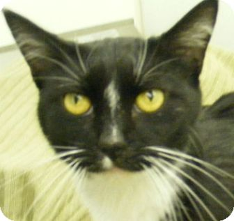 Domestic Shorthair Cat for adoption in Olive Branch, Mississippi - Clark