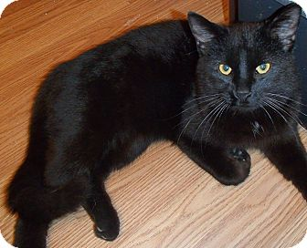Domestic Shorthair Cat for adoption in North Wilkesboro, North Carolina - Coal