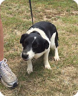 Corgi/Border Collie Mix Dog for adoption in Shelter Island, New York - Bessie