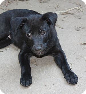 Labrador Retriever/Cattle Dog Mix Puppy for adoption in Marion, Arkansas - Betsy