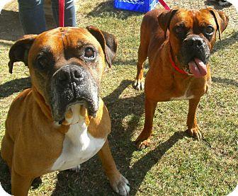 Boxer Dog for adoption in El Cajon, California - Duke