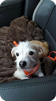 Terrier (Unknown Type, Small) Mix Puppy for adoption in Saddle Brook, New Jersey - Goldie