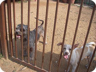 Shih Tzu Mix Dog for adoption in Buchanan Dam, Texas - Jack