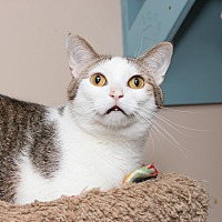 Domestic Shorthair Cat for adoption in Chicago, Illinois - Max