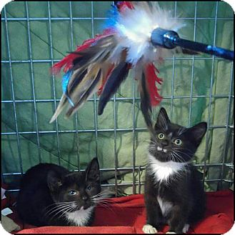 Domestic Mediumhair Kitten for adoption in Oakland Gardens, New York - Sasha