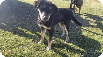 Husky/Rottweiler Mix Dog for adoption in Tiptonville, Tennessee - Toby