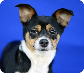 Chihuahua/Terrier (Unknown Type, Small) Mix Dog for adoption in LAFAYETTE, Louisiana - APPLEJACK