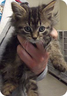 Domestic Longhair Kitten for adoption in Cheboygan, Michigan - MILK DUD