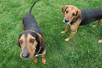 Hound (Unknown Type) Mix Dog for adoption in Lake Odessa, Michigan - Festus
