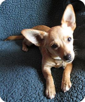 Chihuahua/Terrier (Unknown Type, Small) Mix Puppy for adoption in Burlington, Vermont - TROY