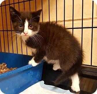 Domestic Shorthair Kitten for adoption in Perth Amboy, New Jersey - Ferdinand