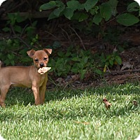 Adopt A Pet :: Porkie - Groton, MA