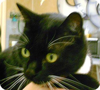 Domestic Shorthair Cat for adoption in Lauderhill, Florida - Mr. Gibbs
