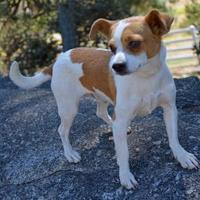 Adopt A Pet :: Ricochet - Mountain Center, CA