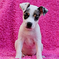 Adopt A Pet :: Prudence - Los Angeles, CA