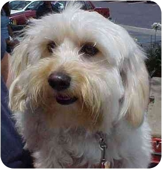Terrier (Unknown Type, Medium)/Maltese Mix Dog for adoption in Spring Valley, California - Lily