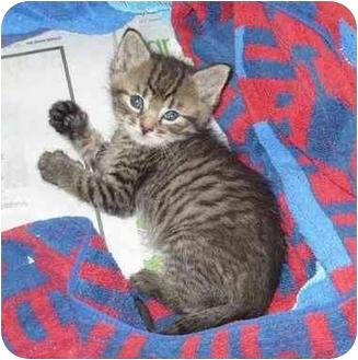 Maine Coon Kitten for adoption in Miami Beach, Florida - Sleepy(ADOPTION PENDING)