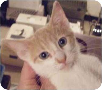 Domestic Shorthair Kitten for adoption in Kensington, Maryland - Hans