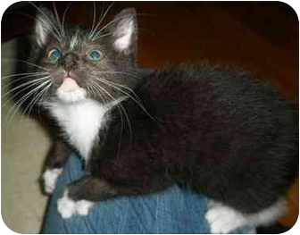 Domestic Shorthair Kitten for adoption in Medford, Massachusetts - Maserati