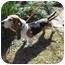 Photo 2 - Basset Hound Dog for adoption in Portsmouth, Rhode Island - Roy w/video!