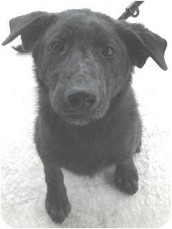 Labrador Retriever/Flat-Coated Retriever Mix Dog for adoption in Montgomery City, Missouri - Buster