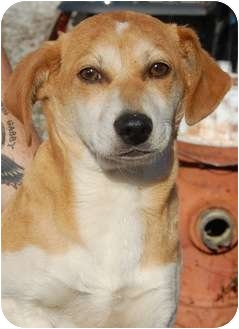 Beagle Mix Puppy for adoption in Belvidere, Illinois - Kringle