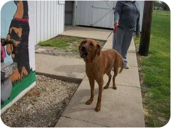 Coonhound Mix Dog for adoption in Paris, Illinois - Lucy