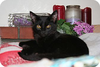 Domestic Shorthair Kitten for adoption in Santa Rosa, California - Zeus