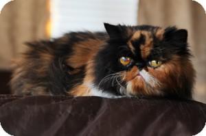 Persian Cat for adoption in Davis, California - Pumpkin