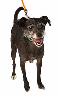 Wirehaired Fox Terrier Mix Dog for adoption in Coppell, Texas - Black Jack