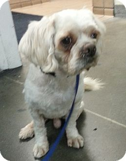Lhasa Apso/Cocker Spaniel Mix Dog for adoption in Encino, California - Peanut