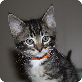 Domestic Shorthair Kitten for adoption in Stillwater, Oklahoma - Carson