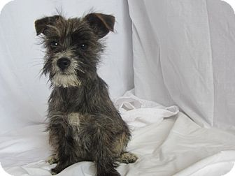 Terrier (Unknown Type, Small) Mix Puppy for adoption in Ridgway, Colorado - Violet
