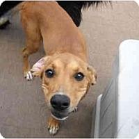 Adopt A Pet :: Ruby Sue - Glastonbury, CT